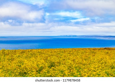 Yellow Flowers in a farm feild over Cliffs of Moher , Doolin, Clare, Ireland