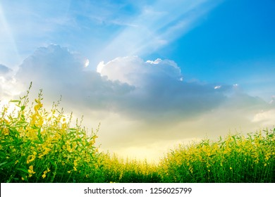 Yellow flowers field with colorful sky