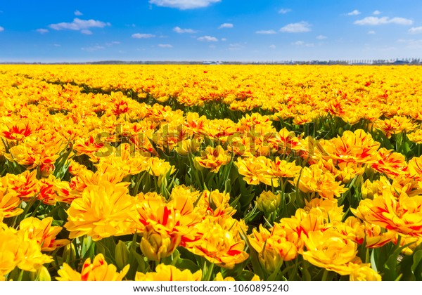 Yellow flowers filed at spring in the Netherlands