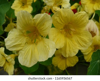 Five petals of yellow flower images stock photos vectors yellow flowers with five petals on green background mightylinksfo
