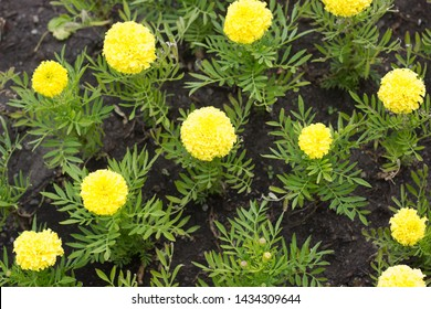 Yellow flowers in the flowerbed