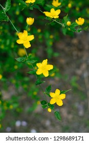 yellow flowers of golden buttercup