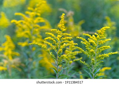 Yellow flowers of goldenrod. Solidago canadensis, known as Canada goldenrod or Canadian goldenrod. Place for text.