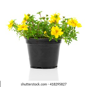 yellow flowers Goldmarie or Bidens ferulifolia or Bidens Goldilocks in a pot, on white background