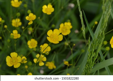 Yellow flowers, green leaves. Buttercup caustic, common type of buttercups. Rannculus acris. Field, forest plant. Sunny day
