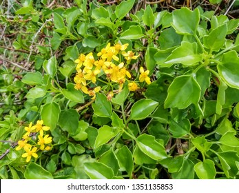Yellow flowers and green leaves of creeping groundsel or Cape ivy, Senecio angulatus, growing in Arousa Island, Galicia, Spain