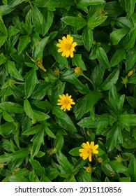 Yellow flowers and green leaves of Creeping daisy. ornamental plant, ground cover and herb. It nourishes skin, massages muscles, nourishes eyes, nourishes hair, reduces fever, helps digestion, anesthe