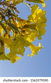 Yellow flowers of Handroanthus chrysotrichus or Golden Trumpet tree. Bali, Indonesia. With space. Vertical image.