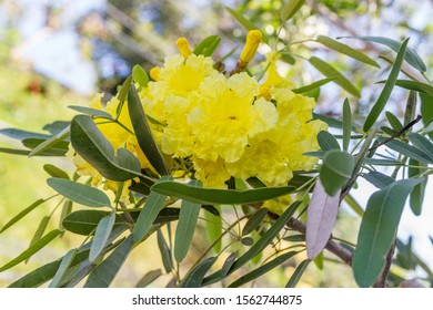 Yellow flowers of Handroanthus chrysotrichus or Golden Trumpet tree. Bali, Indonesia.