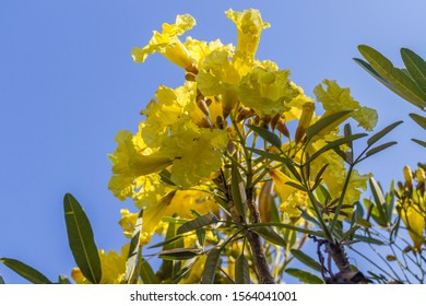 Yellow flowers of Handroanthus chrysotrichus or Golden Trumpet tree. Bali, Indonesia. With space.