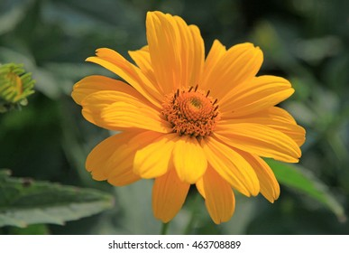 Yellow flowers of Heliopsis in a garden in summer