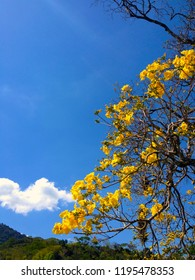 The yellow flowers of a Ipe tree with a blue sky and the forest in the background