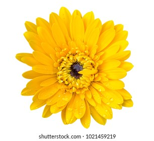 Yellow flowers isolated from white background.