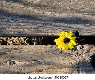 A yellow flowers makes it way through some wooden planks and blooms in spite of its captivity,