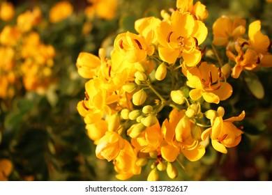 Yellow Flowers Maroochydore River Queensland Australia