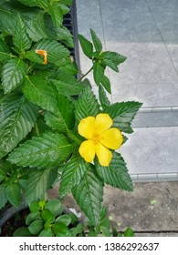 Yellow flowers in the mass of green thorny leaves. damiana flowers. - image
