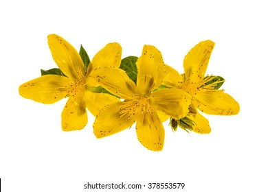 Yellow flowers of medicinal plant St. John's Wort close up isolated on white background