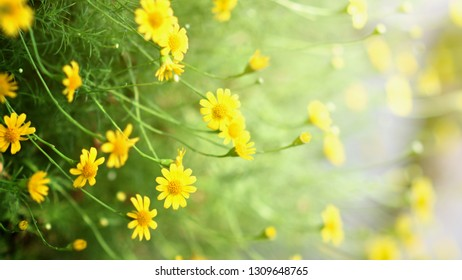 Yellow flowers with mild sunlight in the morning