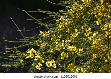 Yellow flowers of Museum Palo Verde tree found in the wilderness of Kern County.