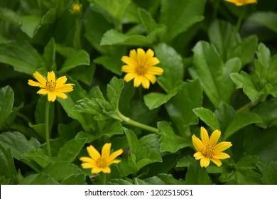 The yellow flowers name kadumtong images stock photos vectors the yellow flowers name kadumtong mightylinksfo