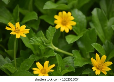The yellow flowers name kadumtong images stock photos vectors the yellow flowers name kadumtong mightylinksfo