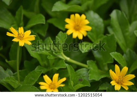 Yellow Flowers Name Kadumtong Stock Photo Edit Now 1202515054