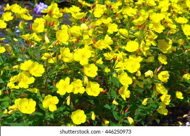 Yellow flowers Oenothera