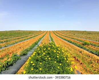 Yellow flowers on agriculture field