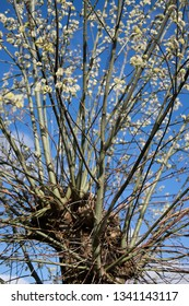 Yellow flowers on branches of a willow  in summer with blue sky
