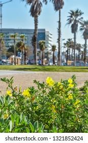 yellow flowers on the city promenade, Ashdod, Israel