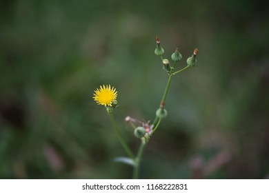 Yellow flowers on common sowthistle
