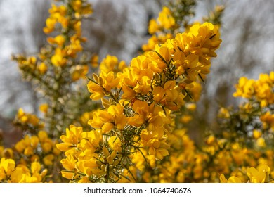 Yellow flowers on a gorse bush in Sussex