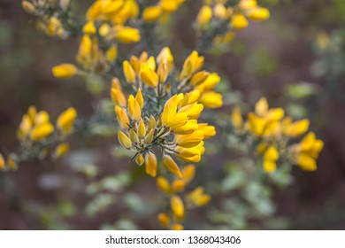 Yellow flowers on a gorse bush growing in the Sussex countryside
