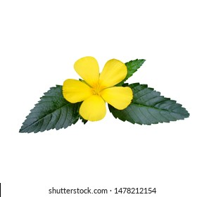 Yellow flowers on green leaves isolated, Damiana,path