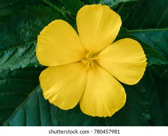 Yellow flowers on green leaves, Damiana.