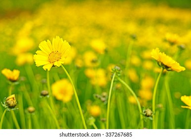 Yellow flowers on the meadow.