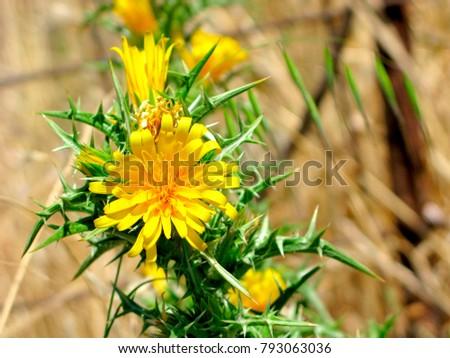 Yellow flowers on spiny stem closeup stock photo edit now yellow flowers on spiny stem close up scolymus hispanicus the common golden mightylinksfo