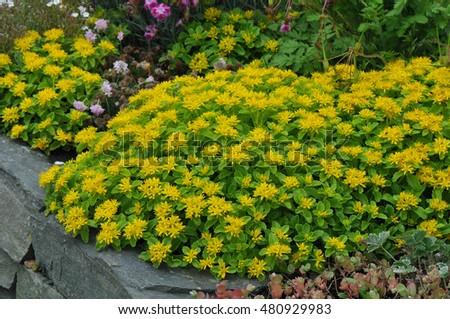 Yellow Flowers On A Stonecrop Plant Called Sedum Kamtschaticum