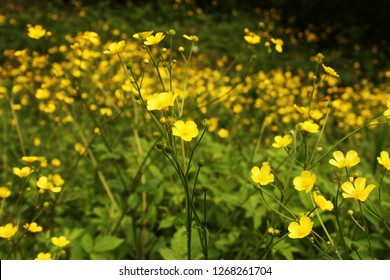 yellow flowers on a sunny meadow