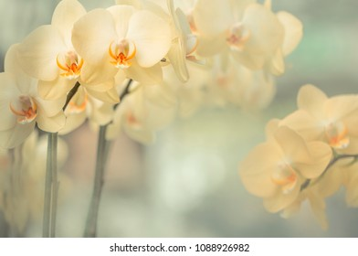 Yellow Flowers - Yellow Orchids (Orchidaceae)