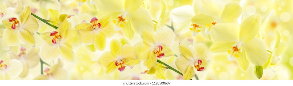 Yellow flowers orchids. Panorama for glass panels. High quality image for skinali. Panoramic view