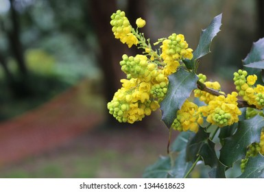 Yellow Flowers of Oregon Grape or Mahonia Aquifolium Growing in a Park