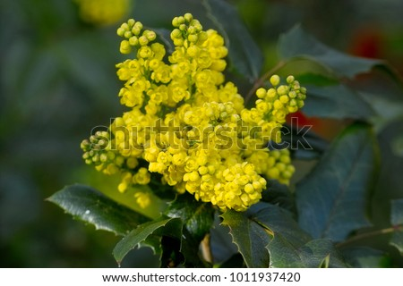 Yellow flowers oregon grape holly mahonia aquifolium stock photo yellow flowers of the oregon grape holly mahonia aquifolium mightylinksfo