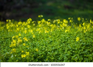 yellow flowers of Oxalis pes-caprae, Bermuda buttercup, invasive species and noxious weed