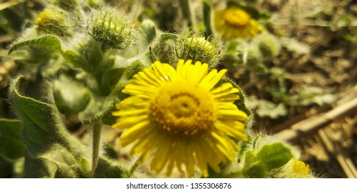 Yellow flowers in flowers plant