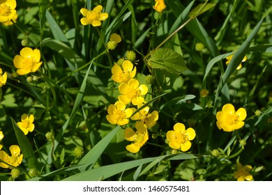 Yellow flowers. Rannculus acris. Field, forest plant. Flower bed, beautiful gentle plants. Sunny day. Buttercup caustic, common type of buttercups