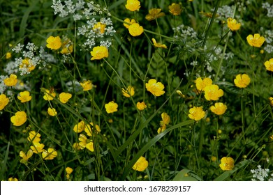Yellow flowers of Ranunculus acris (Meadow buttercup, Tall buttercup)