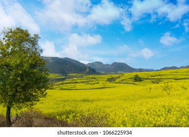 The Yellow Flowers of Rapeseed fields with blue and sky green leaf tree in foreground at Luoping, small county in eastern Yunnan, China