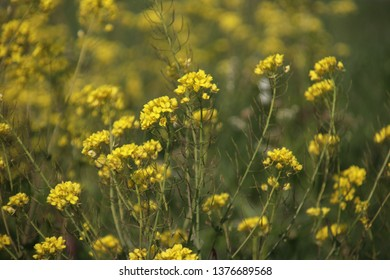 yellow flowers of rapeseed weed along the side of dikes in the Netherlands