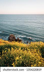 Yellow flowers and rocky coast in Corona del Mar, Newport Beach, California